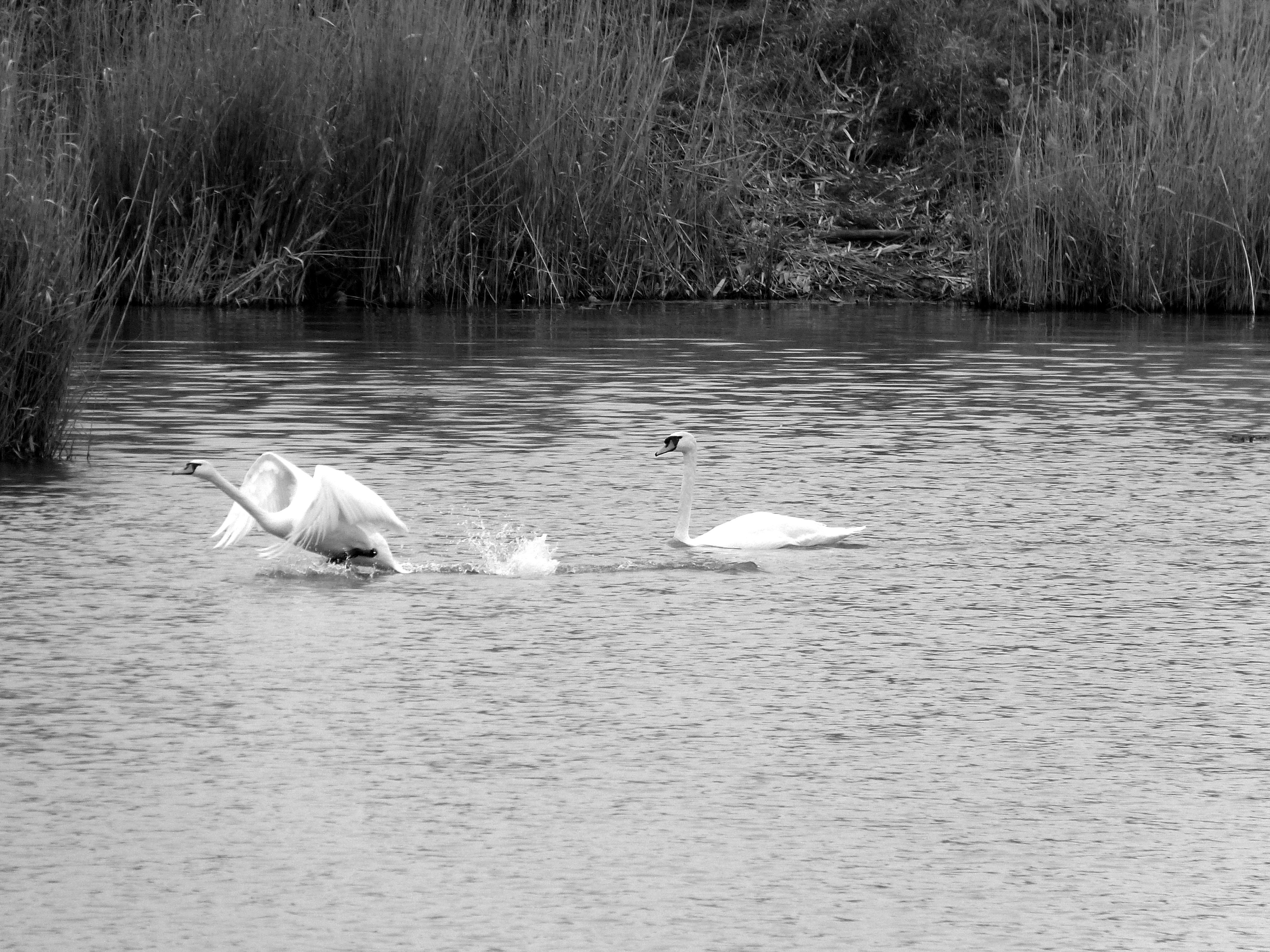 Появились лебеди. Впервые после Гоши