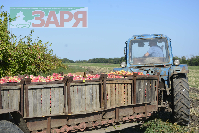 Егорлыкские яблоки — на детские соки