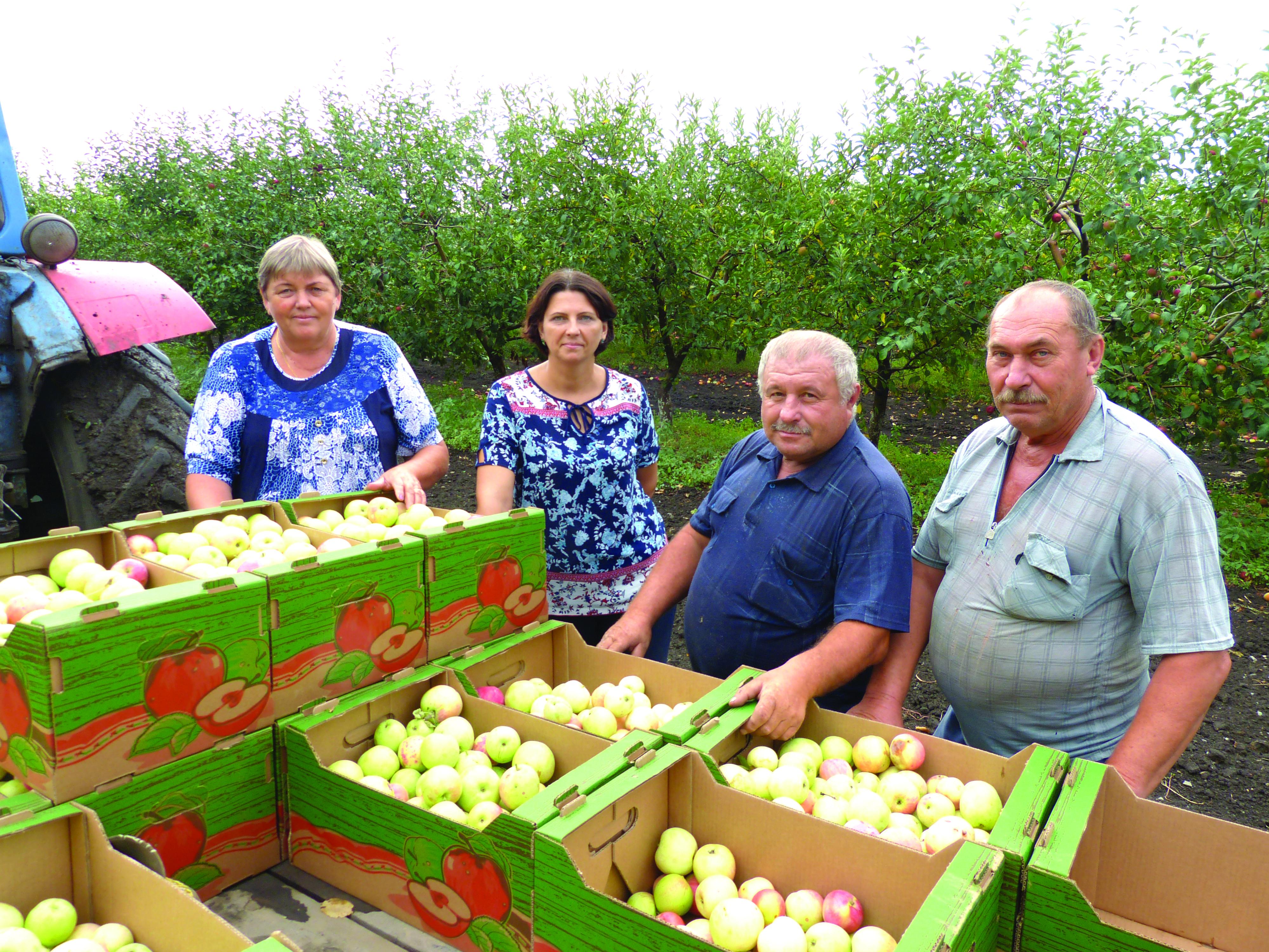 Первые итоги уборки в яблоневом саду ООО «Садовод»