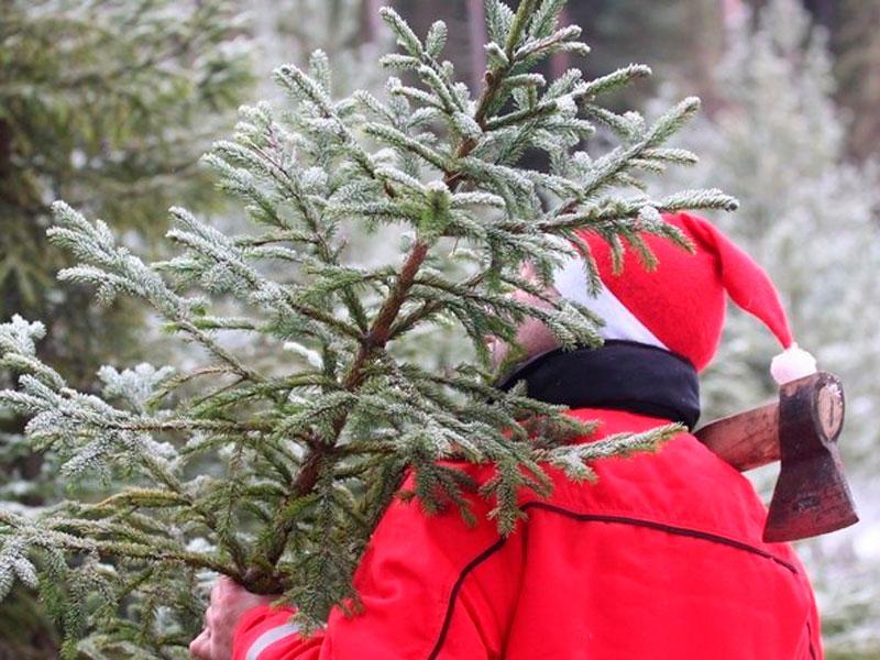 Как срубить новогоднюю елку по всем правилам