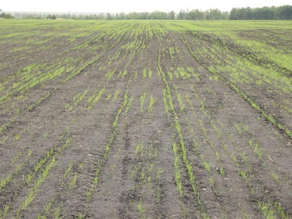 В Егорлыкском районе много невзошедших посевов