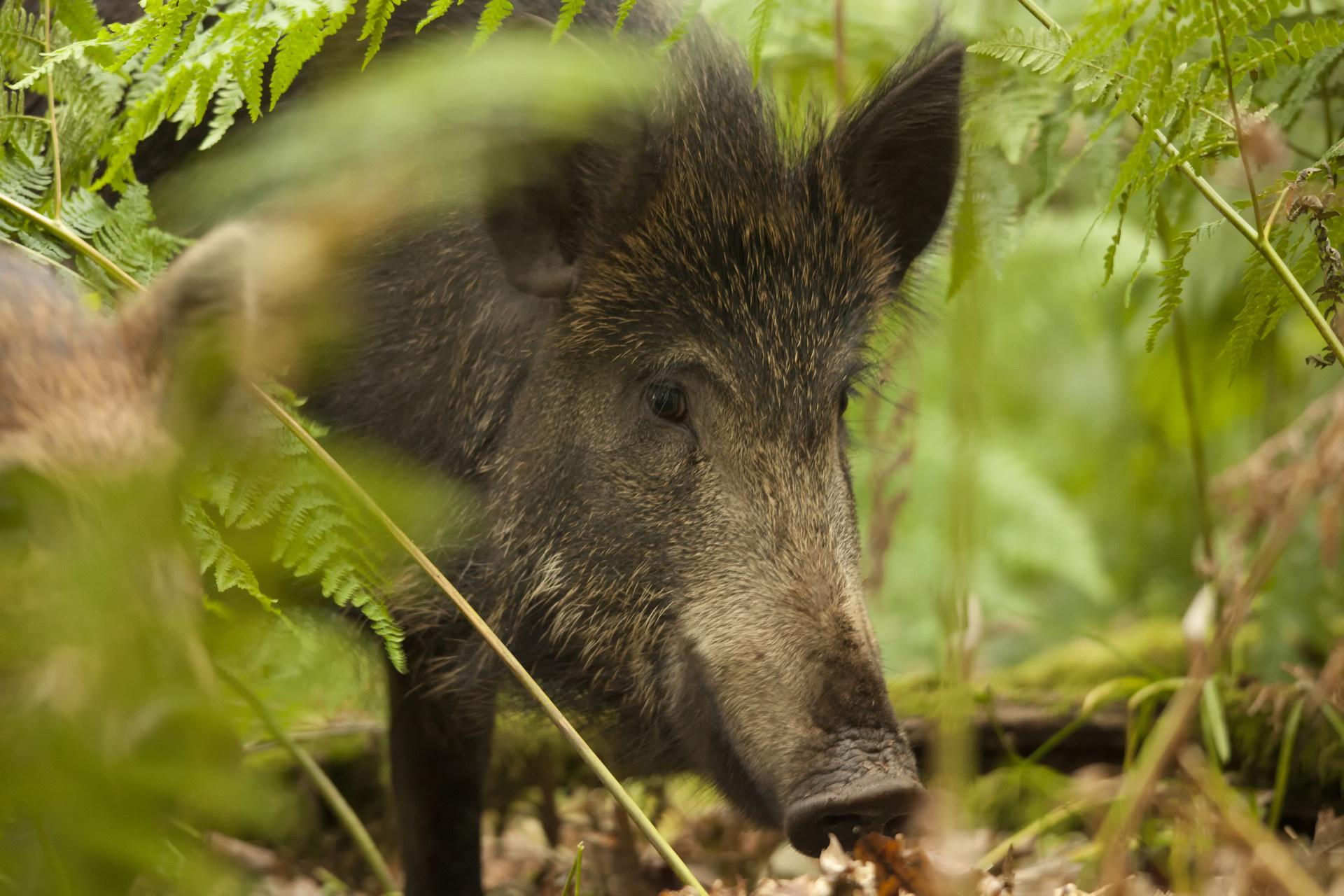 Два очага африканской чумы свиней выявили у диких кабанов на Дону