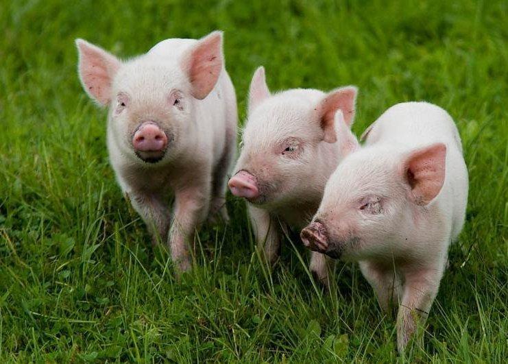 Как спасти поголовье от чумы свиней?