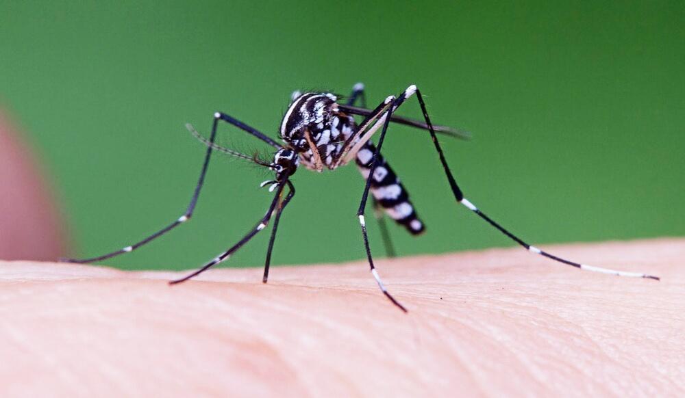 На юге России появились экзотические тигровые комары